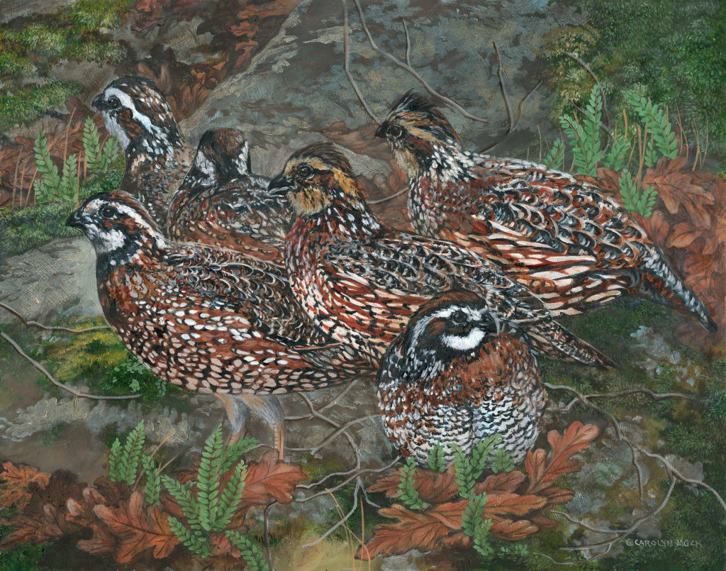 A group of bobwhites explore a field