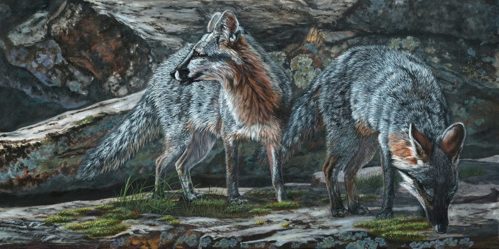 A pair of wolves explore a rocky area