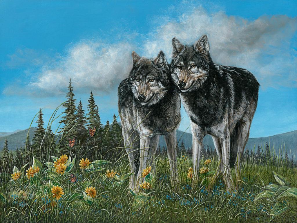 Two wolves enjoy the sun in an open field