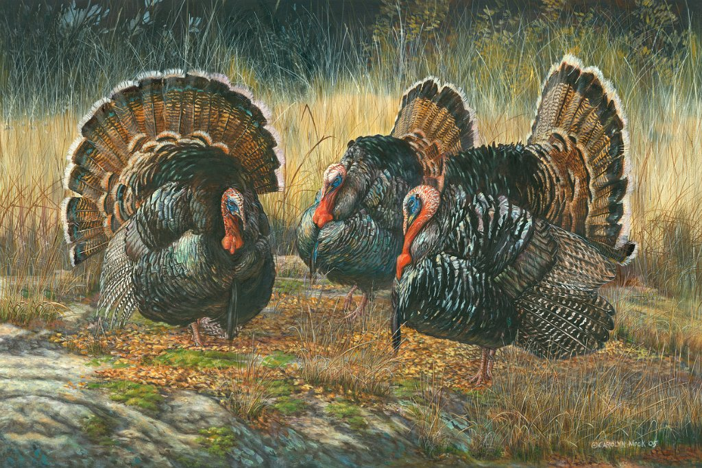 Turkeys strut around one another in a field